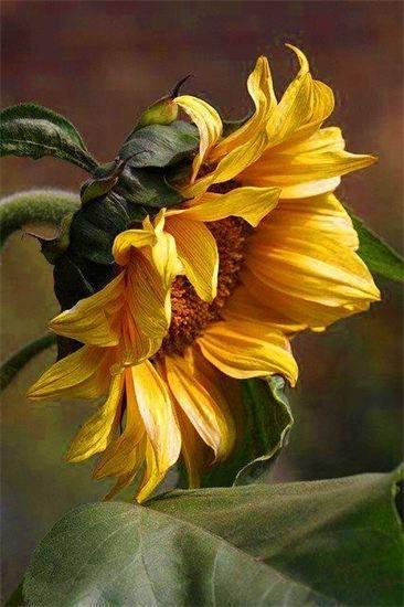 sun flower on a summer day