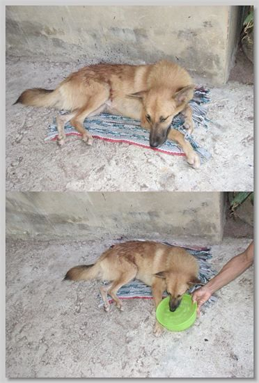 hundehilfe thailand kastr. hündin -jeab-nach kastration