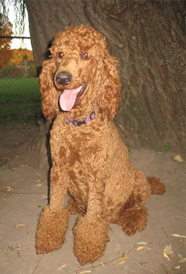 Red Standard Poodle with Gausof's championship bloodlines.