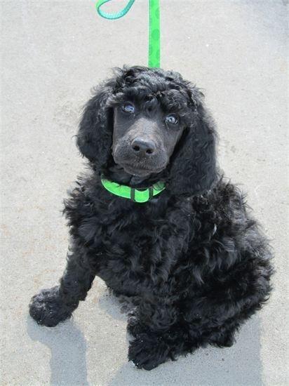Gorgeous black standard poodle puppy.