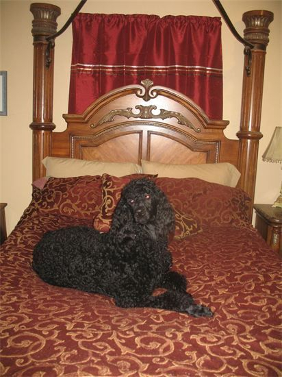 Large black standard poodle with therapy dog potential.