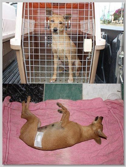 hundehilfe thailand kastr. hündin -tui nr. 40 am 18.01.14