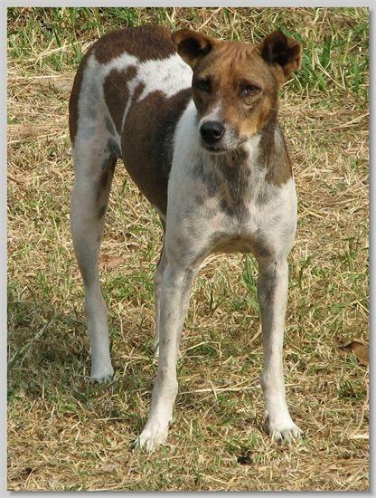 hundehilfe thailand kastr. hündin -mi-