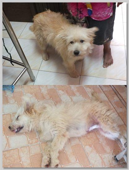 hundehilfe thailand kastr. hündin -churai nr. 28 am 10.10.13