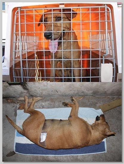 hundehilfe thailand kastr. hündin -sua nr. 39 am 13.01.14