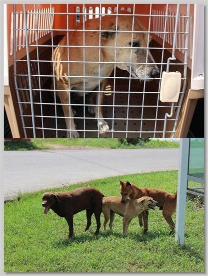 hundehilfe thailand kastr. hündin -phi nr. 34 am 20.11.13