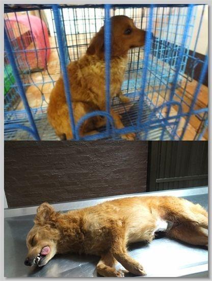 hundehilfe thailand kastr. hündin -janai nr. 25 am 21.09.13