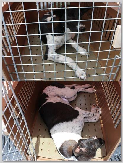hundehilfe thailand kastr. hündin -damkhau nr. 23 am 10.08.13