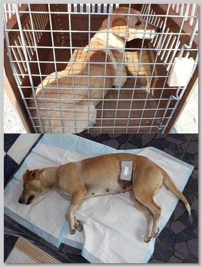 hundehilfe thailand kastr. hündin -sopar nr. 37 am 11.01.14