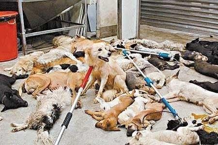 china.gefangender hund zwischen vielen toten.