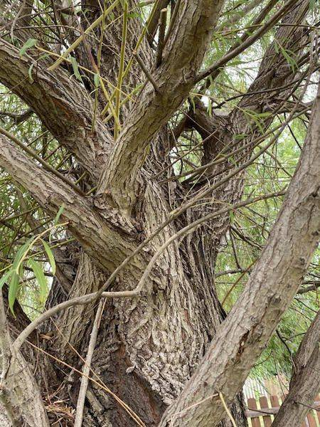 Trees naturally use branch bracing for support