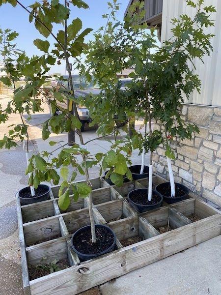 Proper selection of nursery trees