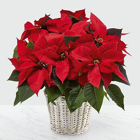poinsettas, send holiday christmas plants to virginia beach