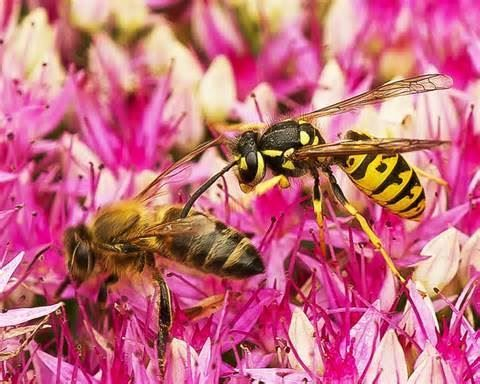 Honey bee and Yellow Jacket (Wasp)