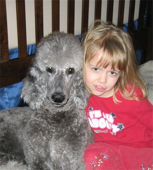 Beautiful silver standard poodle with her girl.