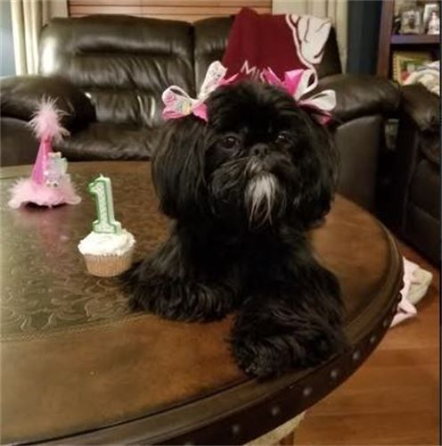 The Ashemore's Stevie We had Stevie a birthday party on her birthday on January 29th. David sang to her that morning, she had a day at the groomers and I baked her cup cakes and got her a birthday hat with feathers. She is so precious! People ask where we got her so I tell them about you. Everyone says she is amazing and she is! I'm still making bows and bandanas for her and she poses for pictures. Lol 2-24-18
