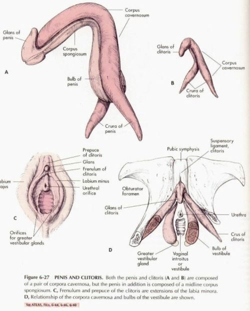 Detailed comparison anatomy of penis and clitoris