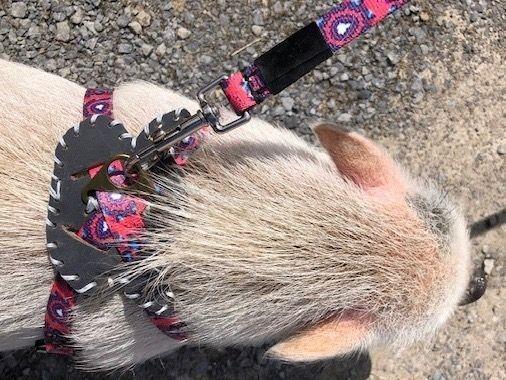 Hogs and Kisses Mini Pigs Miniature Piglets Canada