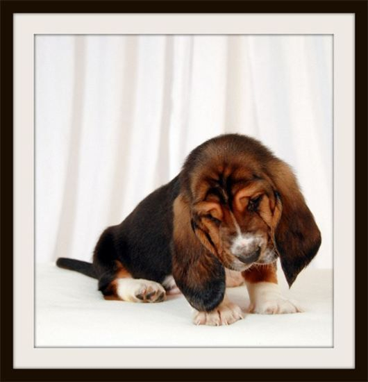 Pure bred Basset Hound Puppy for sale