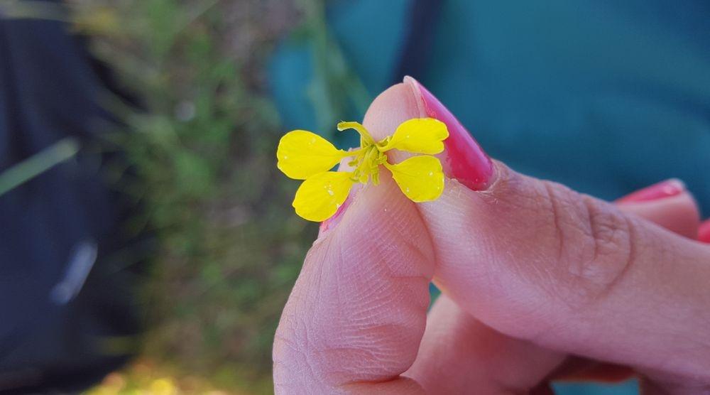 Moutarde sauvage naturopathie et fleur de Bach