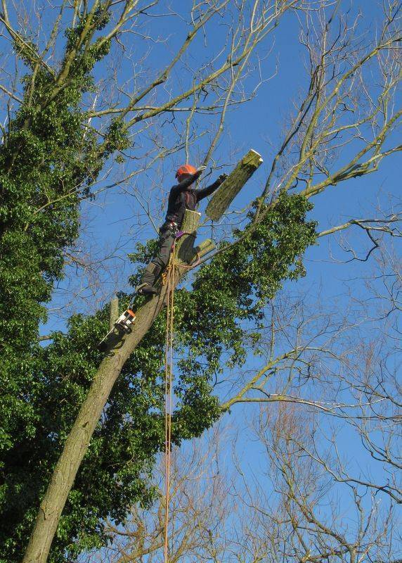 A1 Arborist Tree Surgeon working at Railworld in peterborough