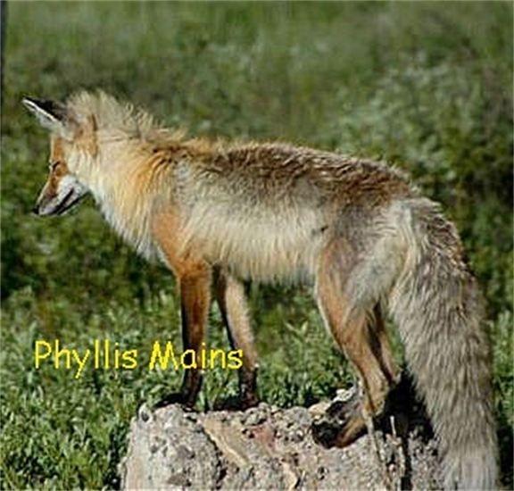 fox in Yellowstone 2007