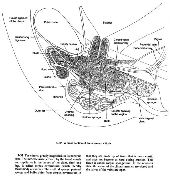 Cross section of non-erect clitoris