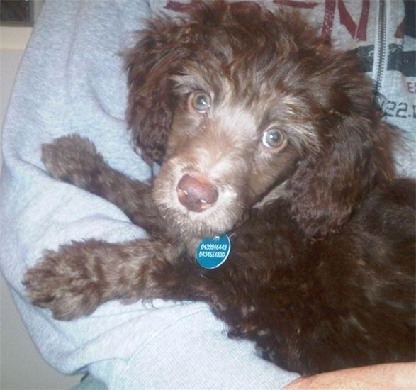 Bentley as a pup