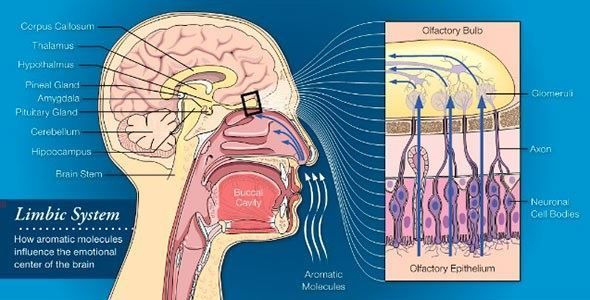 How aromatherapy works on limbic system.