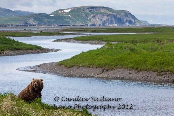 Bear at McNeil River