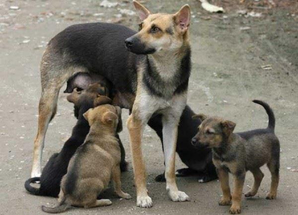 hund mit säugenden welpen in china