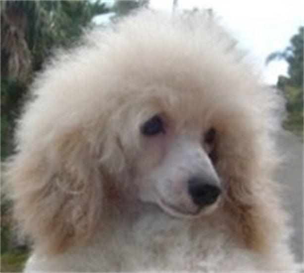 Cream poodle