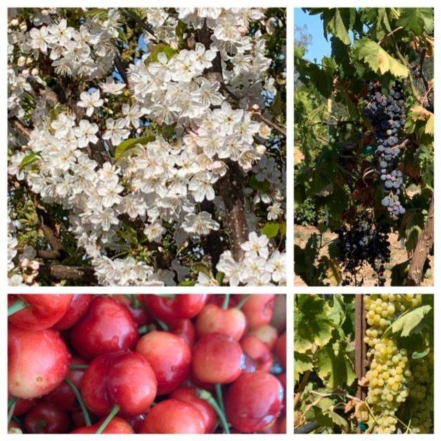A collage of a cherry blossom tree, cherries and grapes.