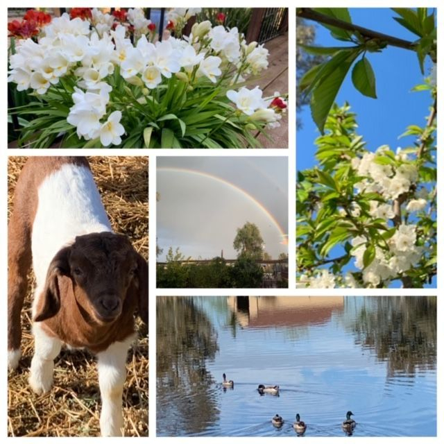 A collage of white flowers, a goat, a rainbow and a few ducks swimming in our creek.