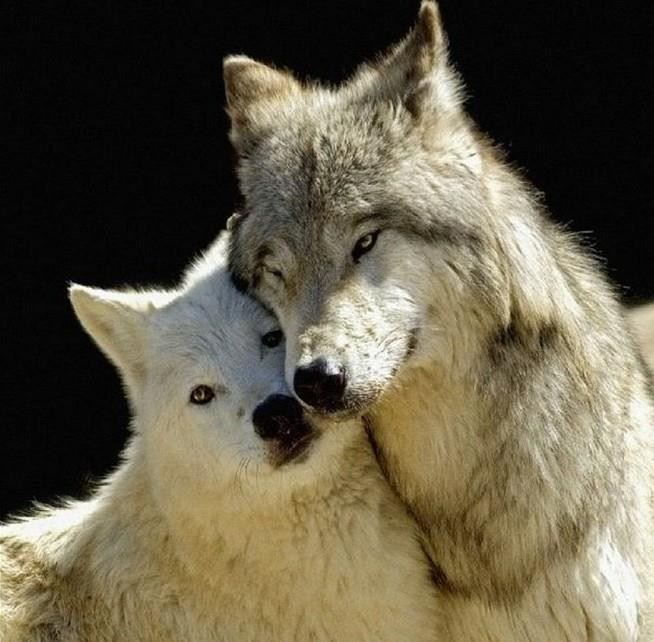 2 wölfe dicht
