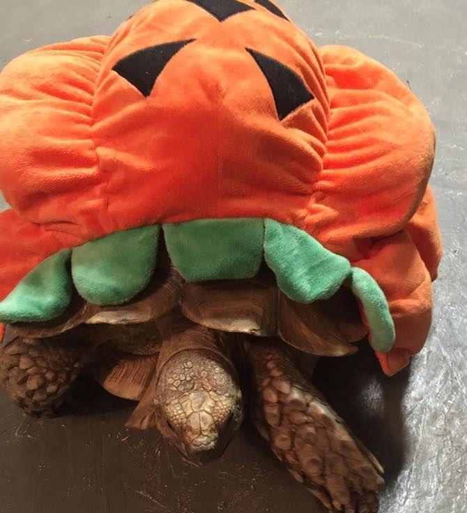 Tortoise wearing a pumpkin costume