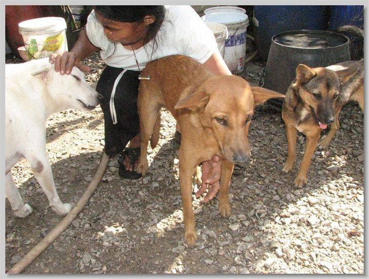 hundehilfe thailand kastr. hündin -sidaeng nr. 22 am 05.08.13
