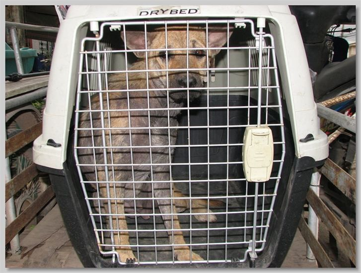 hundehilfe thailand kastr. hündin -joy-