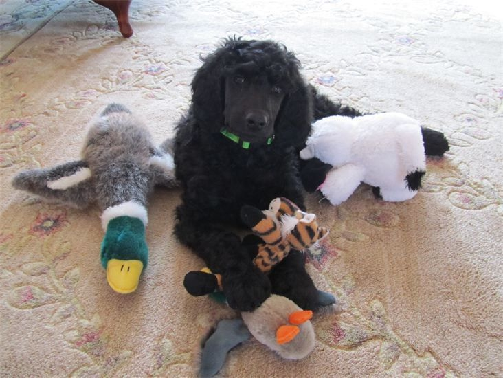 Gorgeous black standard poodle puppy, spoiled with all of his toys.