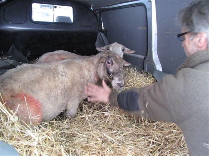 Tierschützern, konnten wir zwei Schafe in eine neues, gutes zu Hause vermitteln.