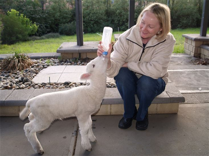 Larry the lamb at feeding time