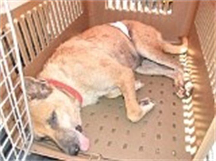 hundehilfe thailand kastr. hündin -maylin-07.05.13.nach op