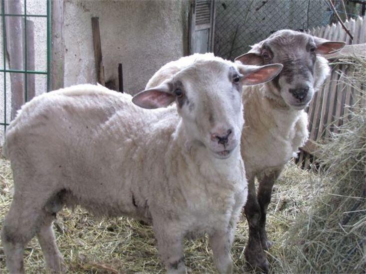 Gemeinsam mit anderen Tierschützern, konnten wir zwei Schafe in eine neues, gutes zu Hause vermitteln.