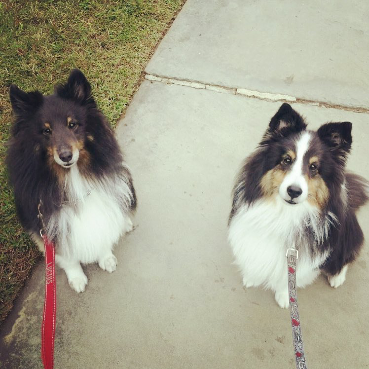 Photo of two Collies looking at the camera