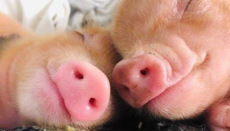 Hogs and Kisses Mini Pigs Miniature Canada Piglets