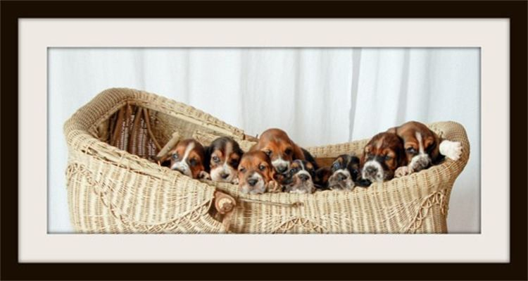 Basket full of Basset Hounds