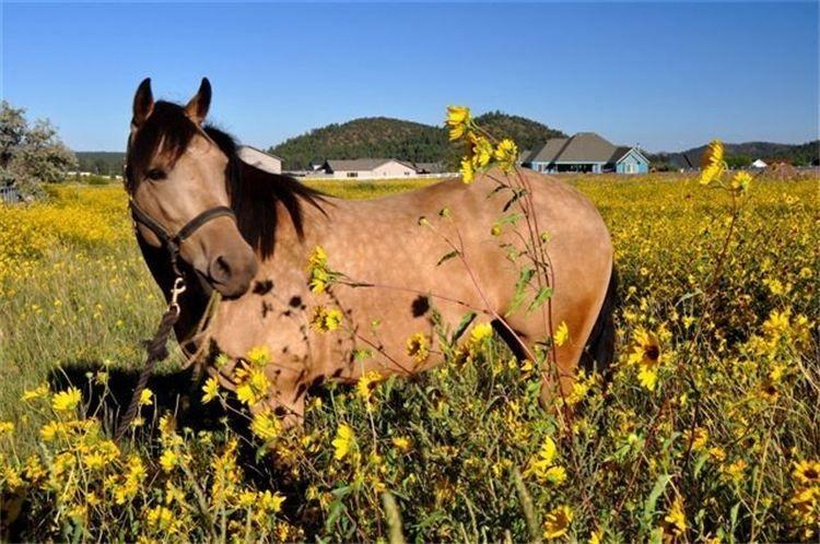 Iina in the sunflowers 8912010