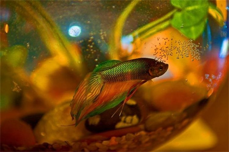 Sushi small my Betta Fish, loves Reiki.