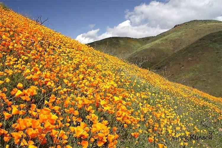 hillside poppies14
