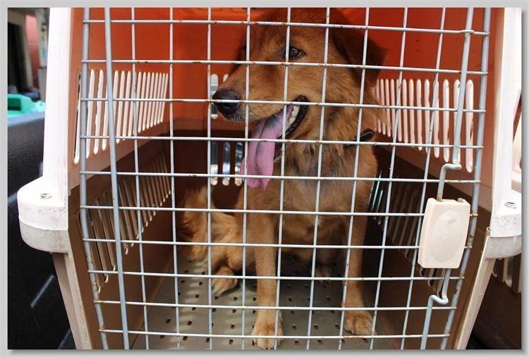 hundehilfe thailand kastr. hündin -jom nr. 31 am 13.11.13